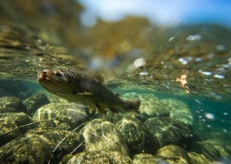 TCCGJH Patagonia River Ranch - Fish in the River